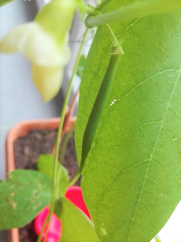 nature montessori planter haricot blanc assmat&maman